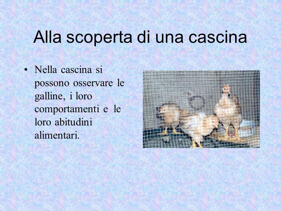 Alla scoperta di una cascina Nella cascina si possono osservare le galline, i loro comportamenti e le loro abitudini alimentari.