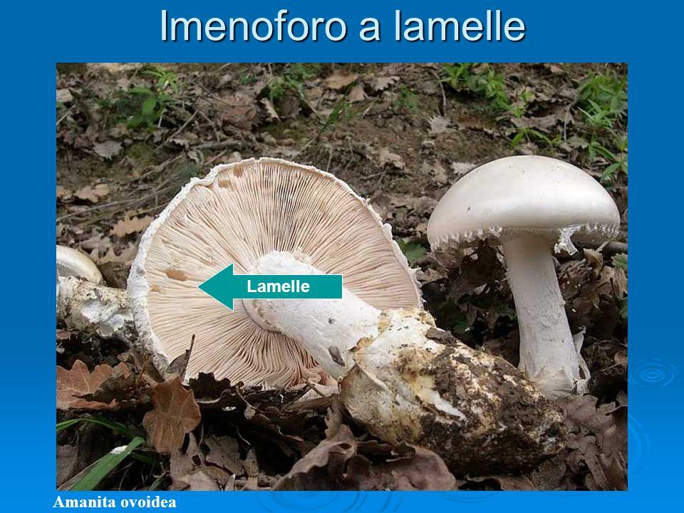 Imenoforo a lamelle Amanita ovoidea Lamelle