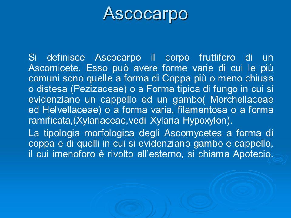 Ascocarpo Si definisce Ascocarpo il corpo fruttifero di un Ascomicete.