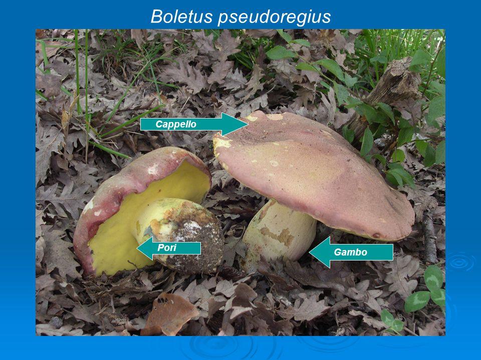 Cappello Pori Gambo Boletus pseudoregius