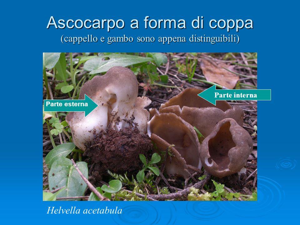 Ascocarpo a forma di coppa (cappello e gambo sono appena distinguibili) Parte interna Parte esterna Helvella acetabula