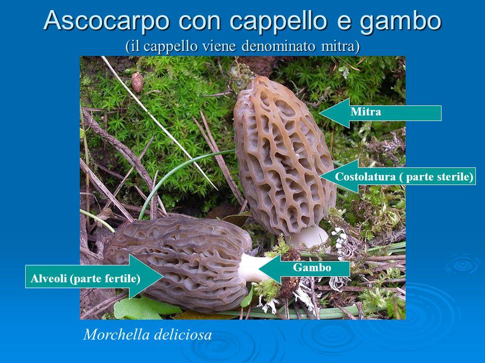 Mitra Costolatura ( parte sterile) Alveoli (parte fertile) Gambo Ascocarpo con cappello e gambo (il cappello viene denominato mitra) Morchella deliciosa
