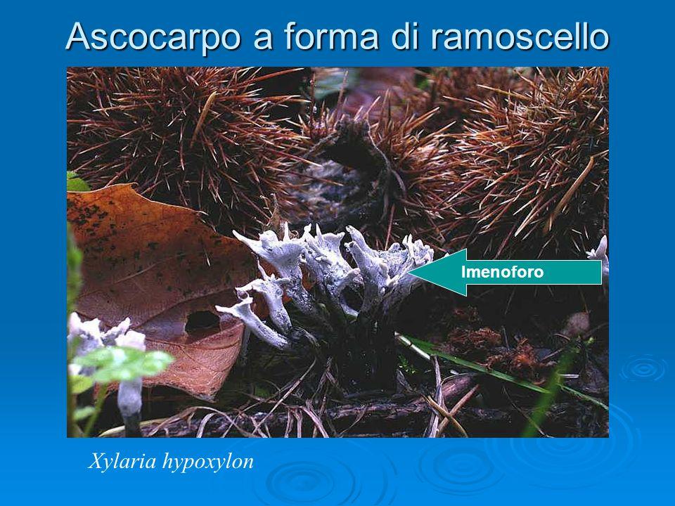Ascocarpo a forma di ramoscello Xylaria hypoxylon Imenoforo