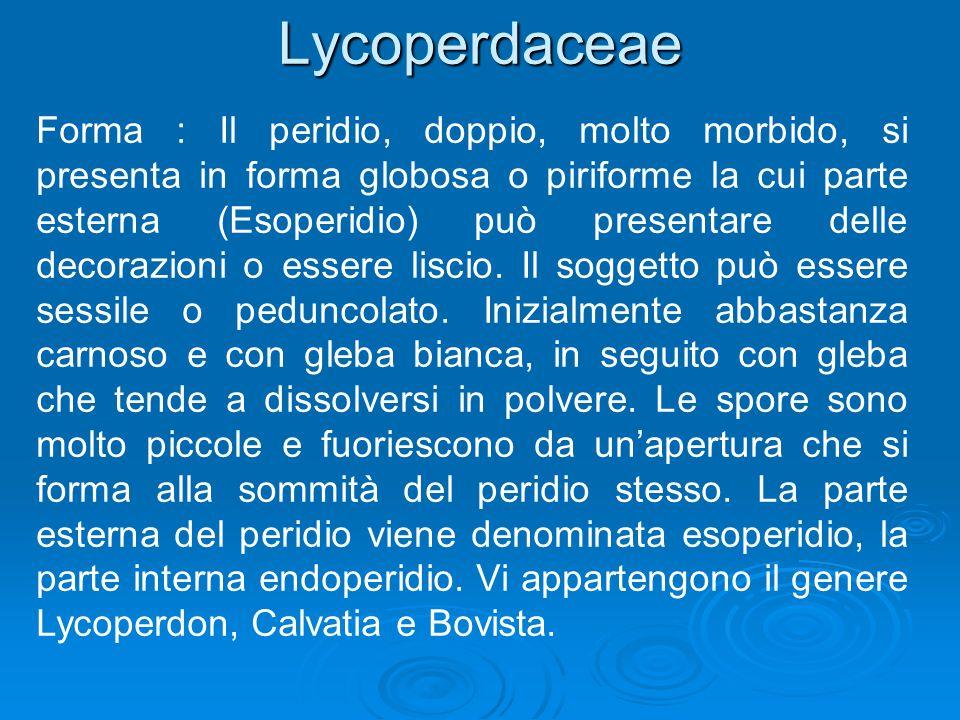 Lycoperdaceae Forma : Il peridio, doppio, molto morbido, si presenta in forma globosa o piriforme la cui parte esterna (Esoperidio) può presentare delle decorazioni o essere liscio.