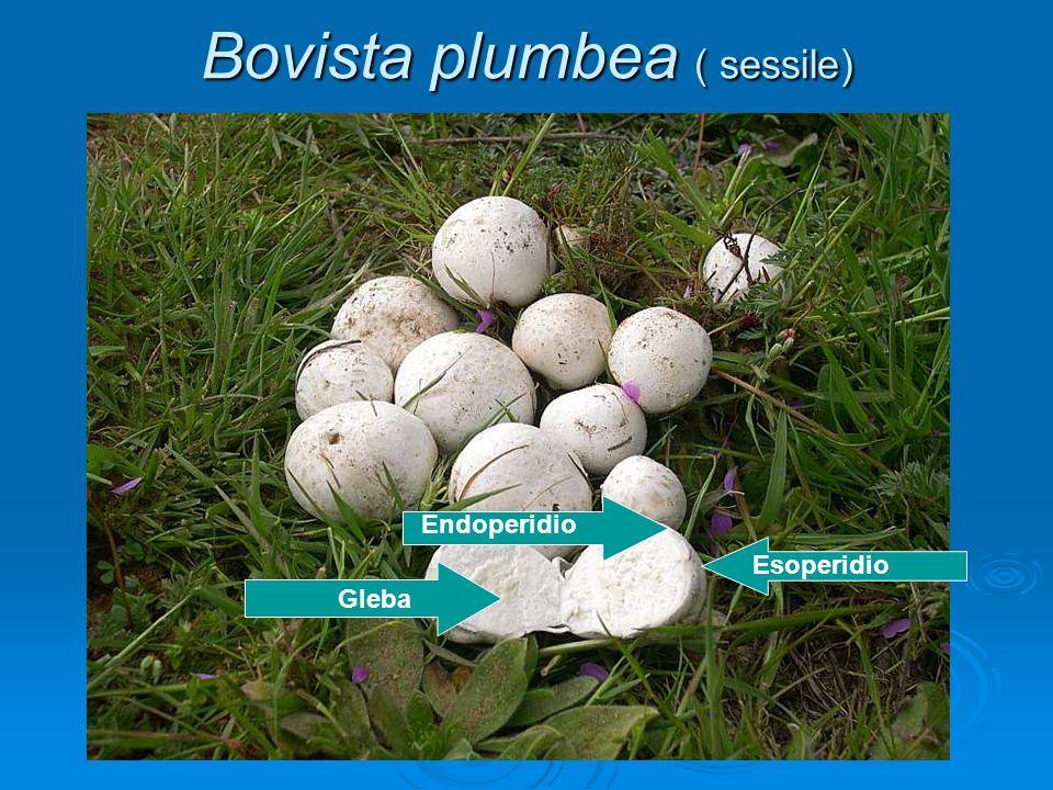 Bovista plumbea ( sessile) Gleba Esoperidio Endoperidio