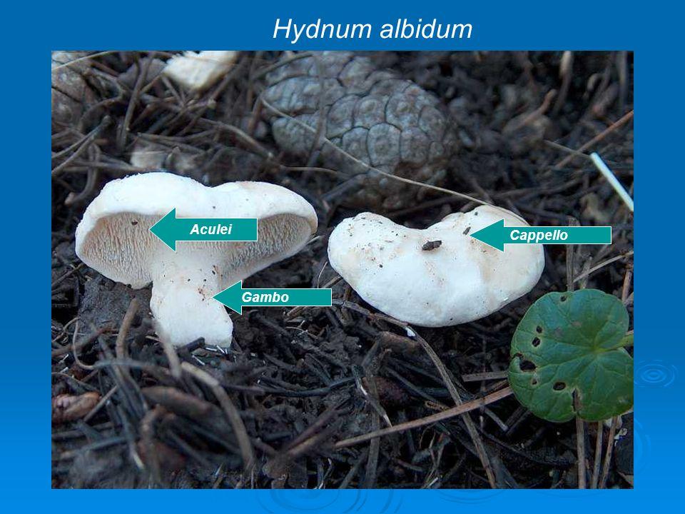 Cappello Gambo Aculei Hydnum albidum