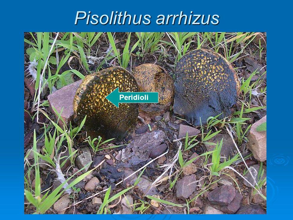 Pisolithus arrhizus Peridioli