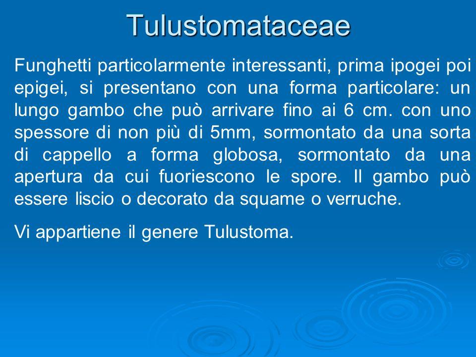 Tulustomataceae Funghetti particolarmente interessanti, prima ipogei poi epigei, si presentano con una forma particolare: un lungo gambo che può arrivare fino ai 6 cm.