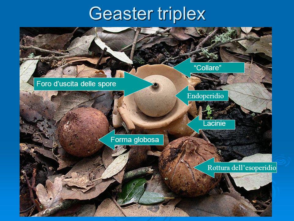 Geaster triplex Forma globosa Rottura dellesoperidio Endoperidio Foro duscita delle spore Lacinie Collare