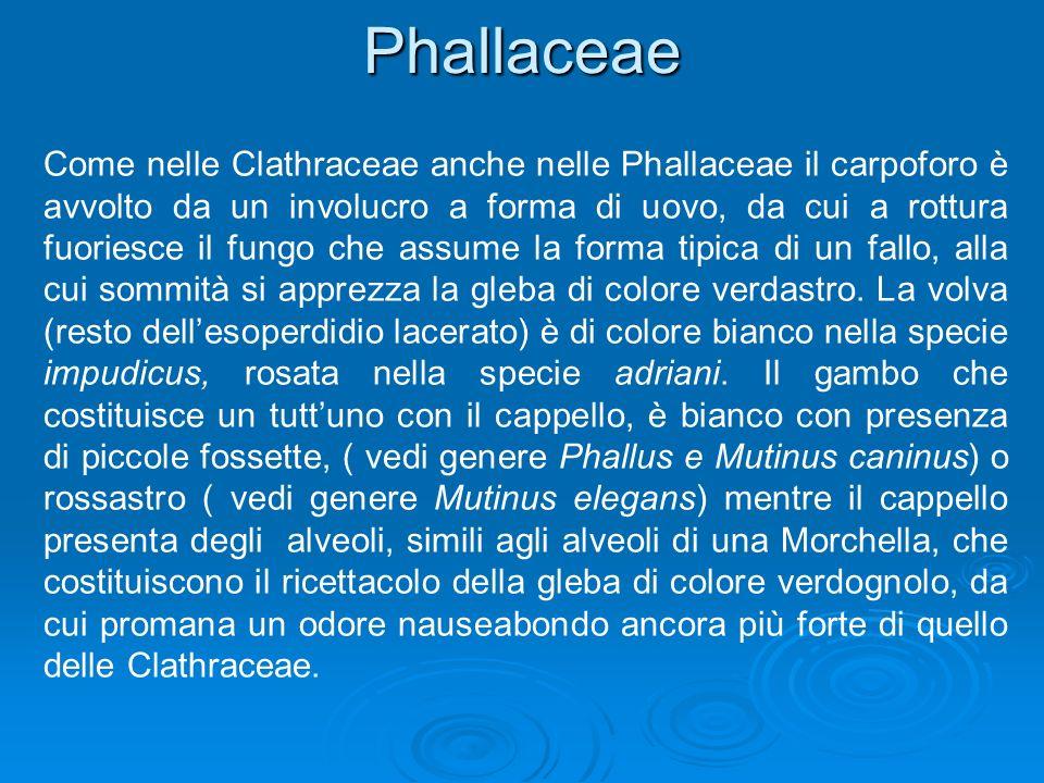 Phallaceae Come nelle Clathraceae anche nelle Phallaceae il carpoforo è avvolto da un involucro a forma di uovo, da cui a rottura fuoriesce il fungo che assume la forma tipica di un fallo, alla cui sommità si apprezza la gleba di colore verdastro.