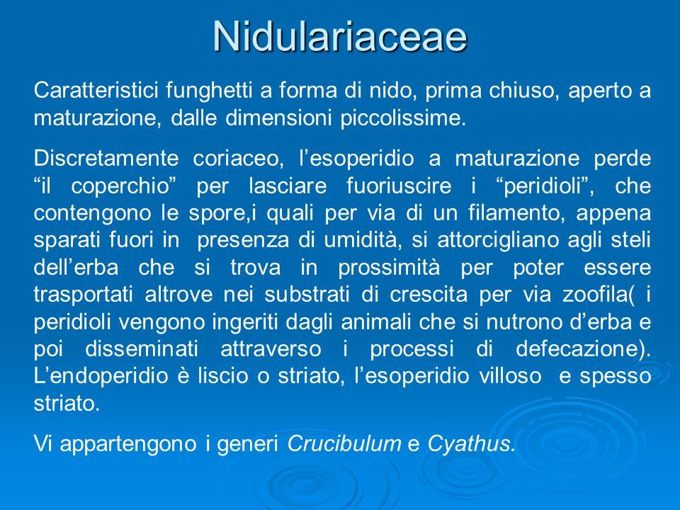 Nidulariaceae Caratteristici funghetti a forma di nido, prima chiuso, aperto a maturazione, dalle dimensioni piccolissime.