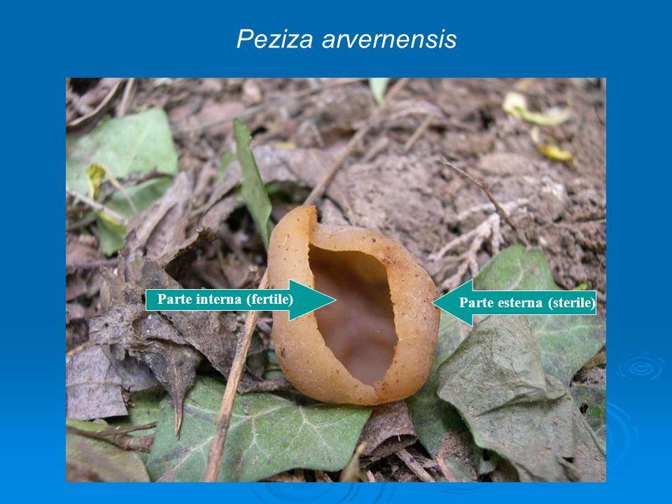 Parte esterna (sterile) Parte interna (fertile) Peziza arvernensis