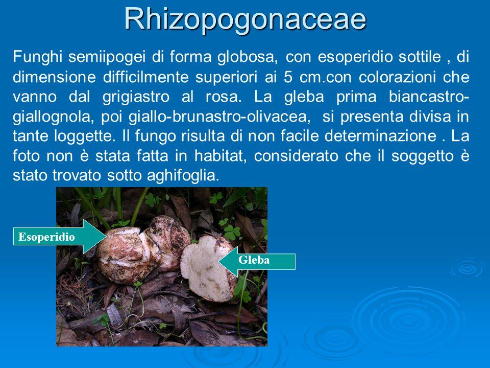 Rhizopogonaceae Funghi semiipogei di forma globosa, con esoperidio sottile, di dimensione difficilmente superiori ai 5 cm.con colorazioni che vanno dal grigiastro al rosa.