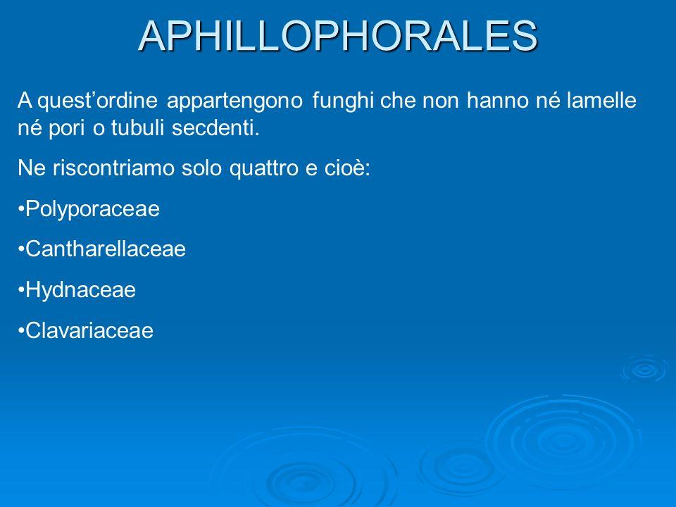 APHILLOPHORALES A questordine appartengono funghi che non hanno né lamelle né pori o tubuli secdenti.