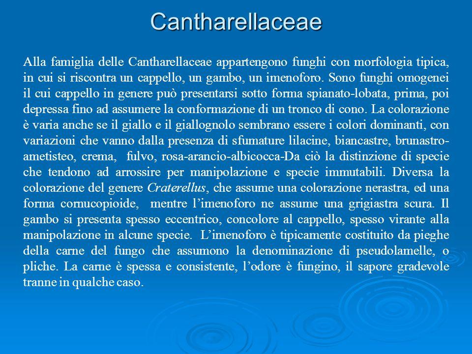 Cantharellaceae Alla famiglia delle Cantharellaceae appartengono funghi con morfologia tipica, in cui si riscontra un cappello, un gambo, un imenoforo.