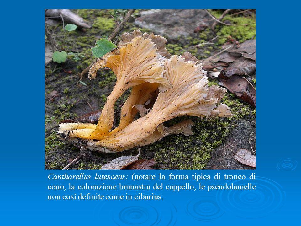 Cantharellus lutescens: (notare la forma tipica di tronco di cono, la colorazione brunastra del cappello, le pseudolamelle non così definite come in cibarius.