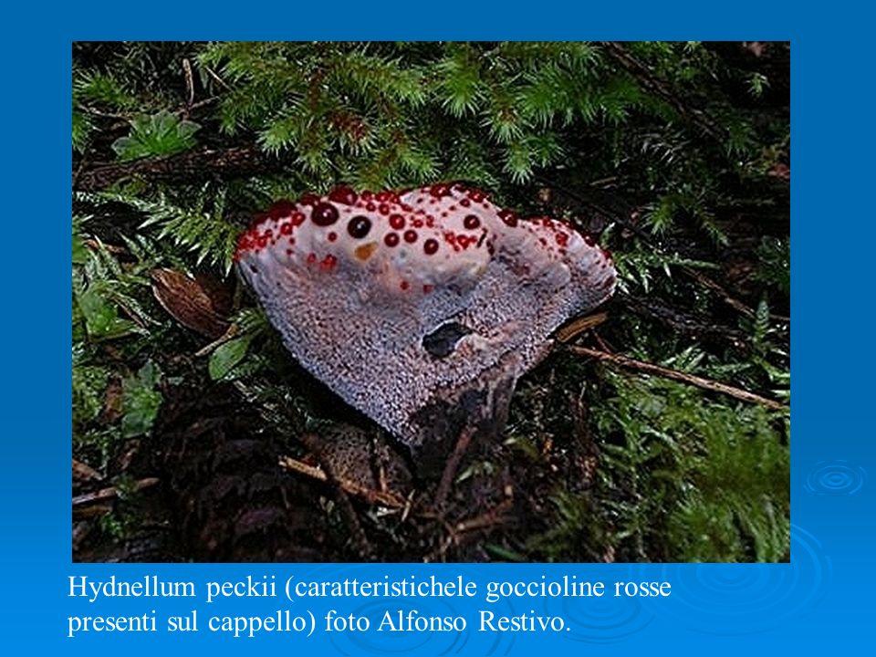 Hydnellum peckii (caratteristichele goccioline rosse presenti sul cappello) foto Alfonso Restivo.