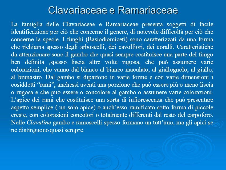 Clavariaceae e Ramariaceae La famiglia delle Clavariaceae e Ramariaceae presenta soggetti di facile identificazione per ciò che concerne il genere, di notevole difficoltà per ciò che concerne la specie.