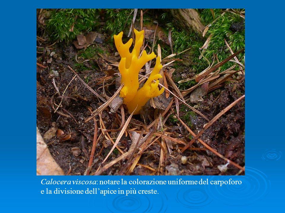 Calocera viscosa: notare la colorazione uniforme del carpoforo e la divisione dellapice in più creste.