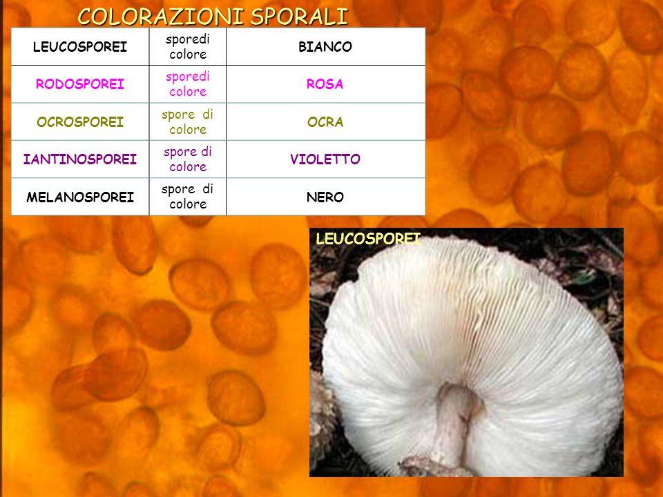 LEUCOSPOREI sporedi colore BIANCO RODOSPOREI sporedi colore ROSA OCROSPOREI spore di colore OCRA IANTINOSPOREI spore di colore VIOLETTO MELANOSPOREI spore di colore NERO COLORAZIONI SPORALI LEUCOSPOREI