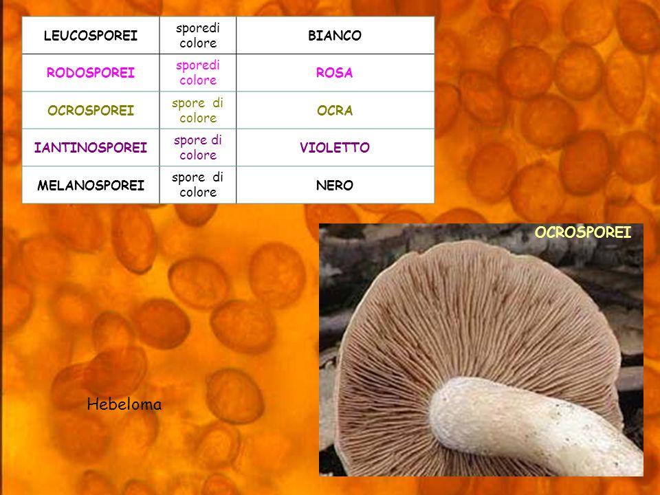 OCROSPOREI LEUCOSPOREI sporedi colore BIANCO RODOSPOREI sporedi colore ROSA OCROSPOREI spore di colore OCRA IANTINOSPOREI spore di colore VIOLETTO MELANOSPOREI spore di colore NERO Hebeloma