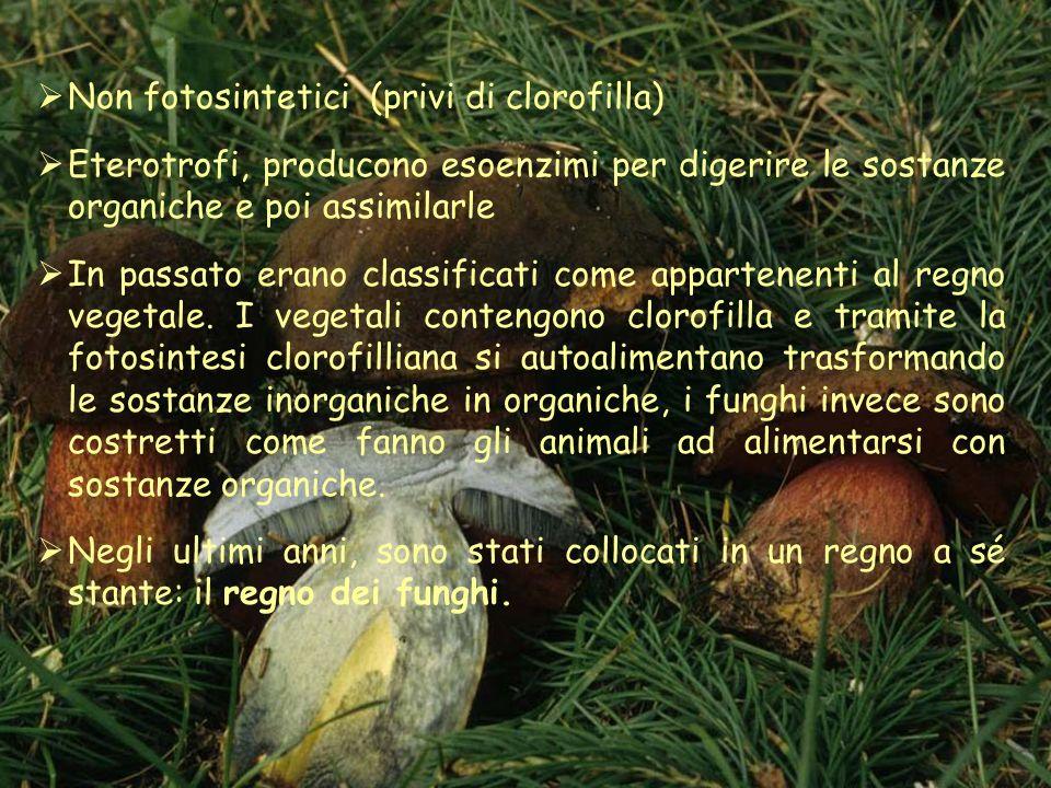 Non fotosintetici (privi di clorofilla) Eterotrofi, producono esoenzimi per digerire le sostanze organiche e poi assimilarle In passato erano classificati come appartenenti al regno vegetale.