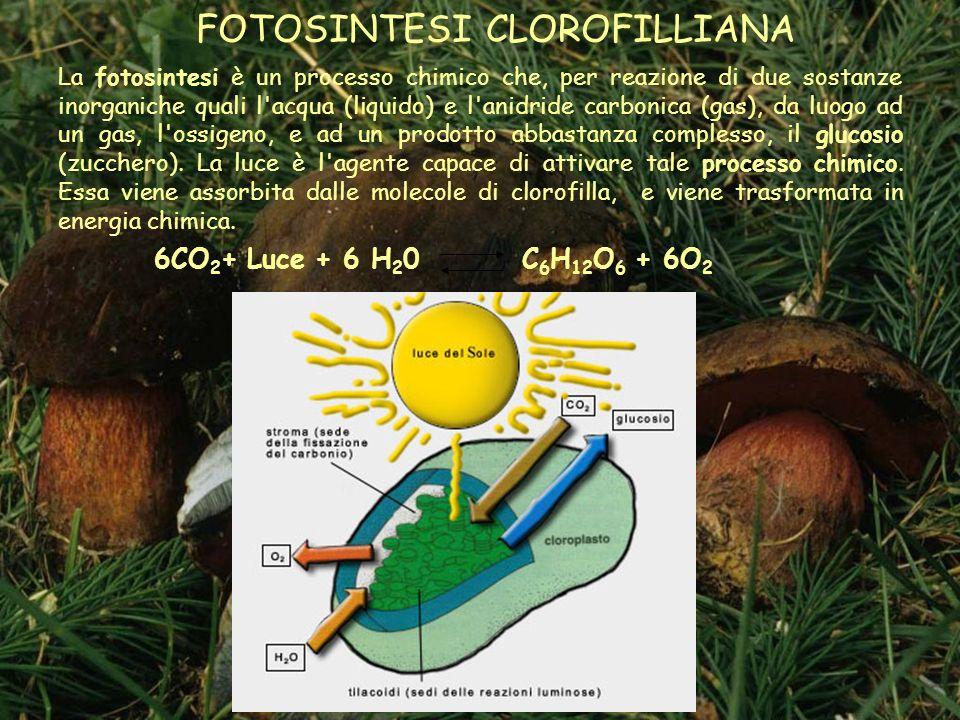 FOTOSINTESI CLOROFILLIANA La fotosintesi è un processo chimico che, per reazione di due sostanze inorganiche quali l acqua (liquido) e l anidride carbonica (gas), da luogo ad un gas, l ossigeno, e ad un prodotto abbastanza complesso, il glucosio (zucchero).