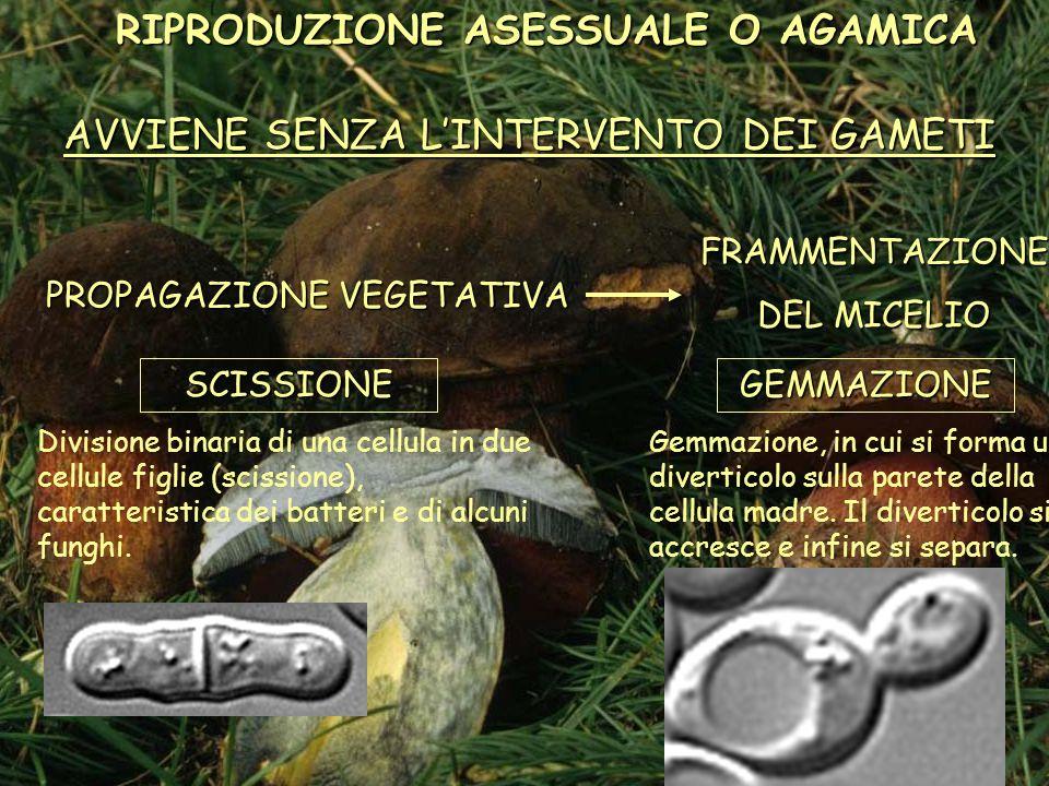 Negli Ascomiceti, le spore asessuali possono formarsi in cima o a fianco delle ife e sono dette conidi.