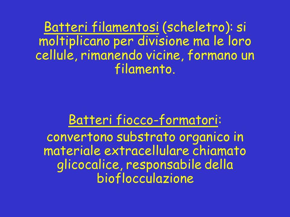 Batteri filamentosi (scheletro): si moltiplicano per divisione ma le loro cellule, rimanendo vicine, formano un filamento. Batteri fiocco-formatori: c