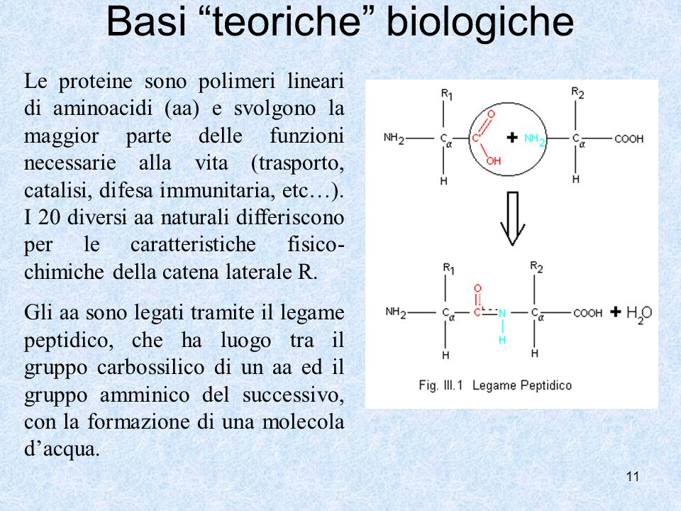 11 Basi teoriche biologiche Le proteine sono polimeri lineari di aminoacidi (aa) e svolgono la maggior parte delle funzioni necessarie alla vita (tras