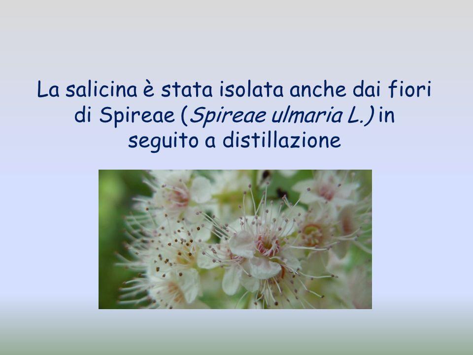 La salicina è stata isolata anche dai fiori di Spireae (Spireae ulmaria L.) in seguito a distillazione