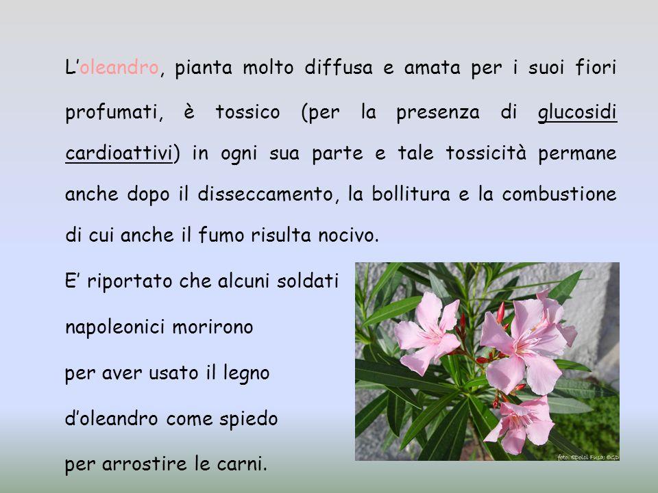 Loleandro, pianta molto diffusa e amata per i suoi fiori profumati, è tossico (per la presenza di glucosidi cardioattivi) in ogni sua parte e tale tos