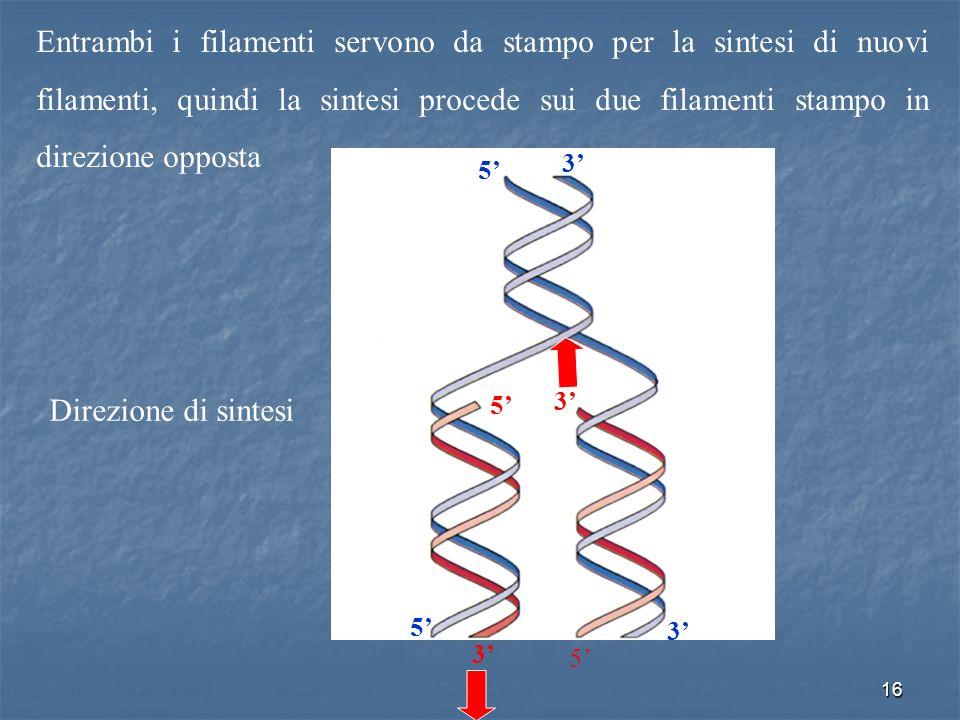 16 Entrambi i filamenti servono da stampo per la sintesi di nuovi filamenti, quindi la sintesi procede sui due filamenti stampo in direzione opposta 5