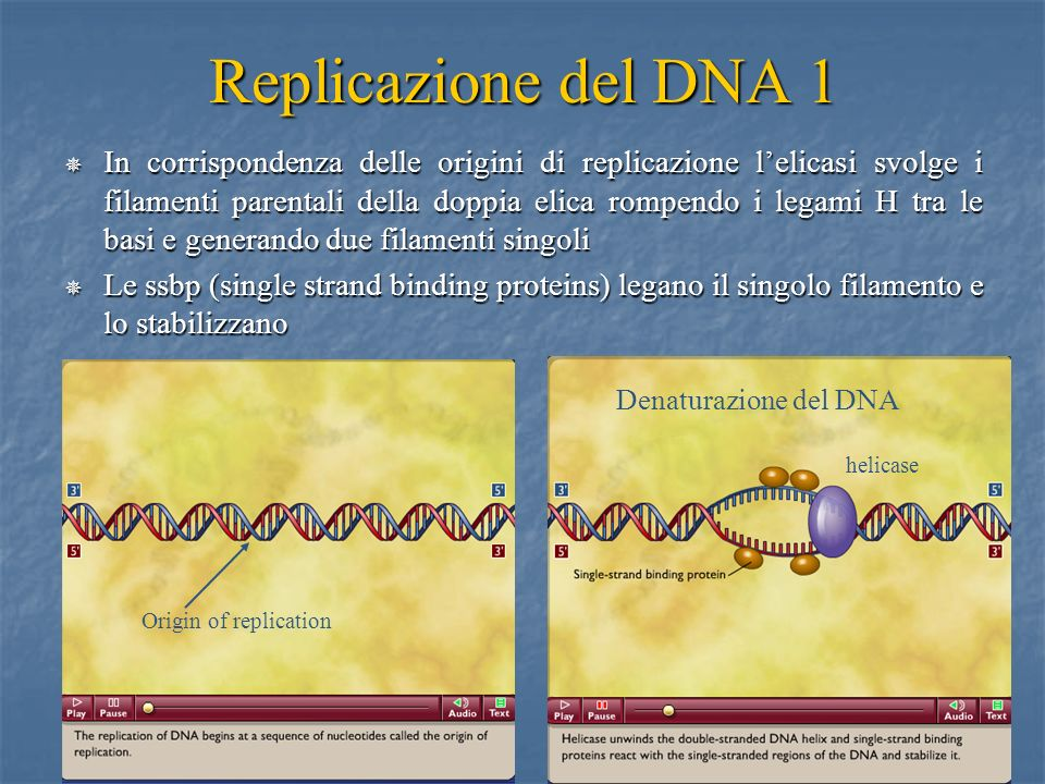 18 Replicazione del DNA 1 In corrispondenza delle origini di replicazione lelicasi svolge i filamenti parentali della doppia elica rompendo i legami H
