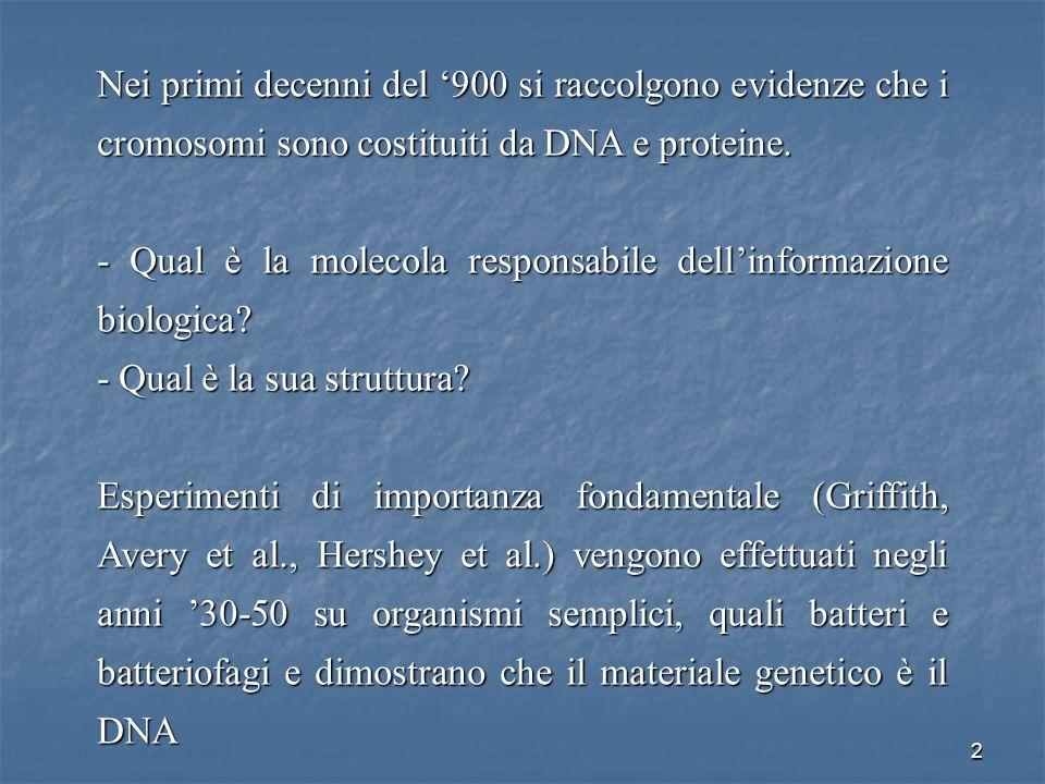 2 Nei primi decenni del 900 si raccolgono evidenze che i cromosomi sono costituiti da DNA e proteine. - Qual è la molecola responsabile dellinformazio