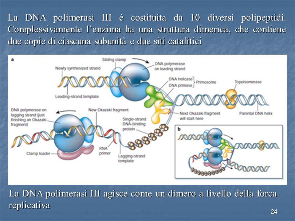 24 La DNA polimerasi III è costituita da 10 diversi polipeptidi. Complessivamente lenzima ha una struttura dimerica, che contiene due copie di ciascun