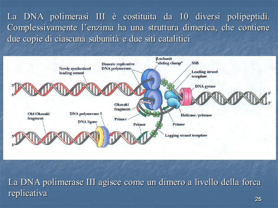 25 La DNA polimerasi III è costituita da 10 diversi polipeptidi. Complessivamente lenzima ha una struttura dimerica, che contiene due copie di ciascun