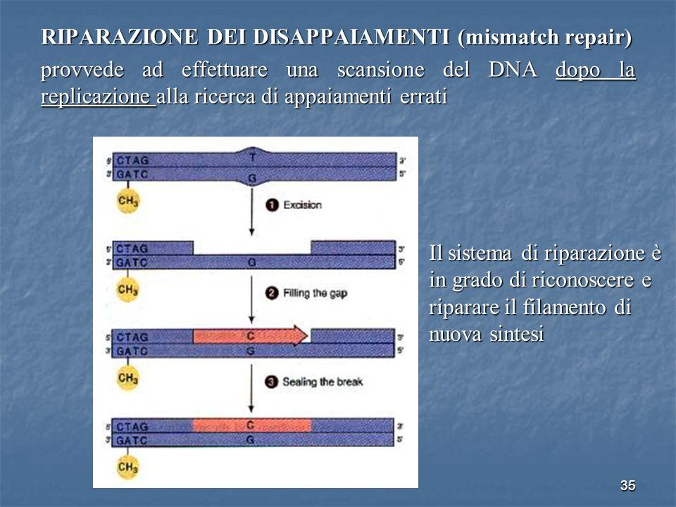 35 RIPARAZIONE DEI DISAPPAIAMENTI (mismatch repair) provvede ad effettuare una scansione del DNA dopo la replicazione alla ricerca di appaiamenti erra