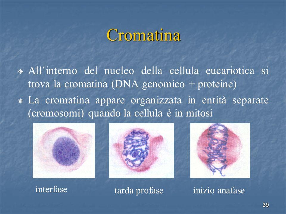 39 Cromatina Allinterno del nucleo della cellula eucariotica si trova la cromatina (DNA genomico + proteine) La cromatina appare organizzata in entità