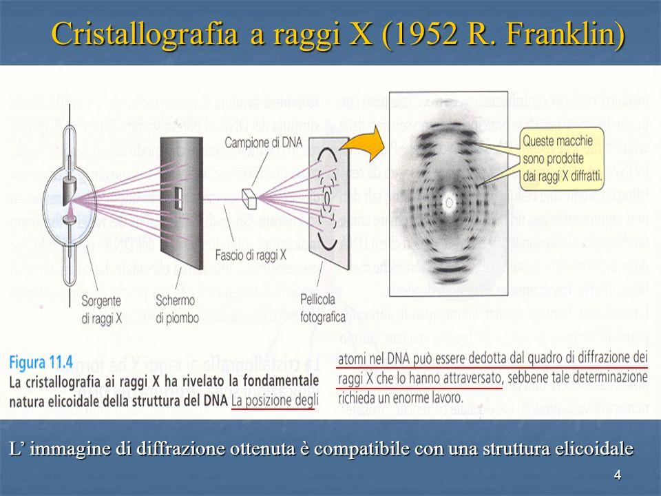 4 Cristallografia a raggi X (1952 R. Franklin) L immagine di diffrazione ottenuta è compatibile con una struttura elicoidale R. Franklin M. Wilkins