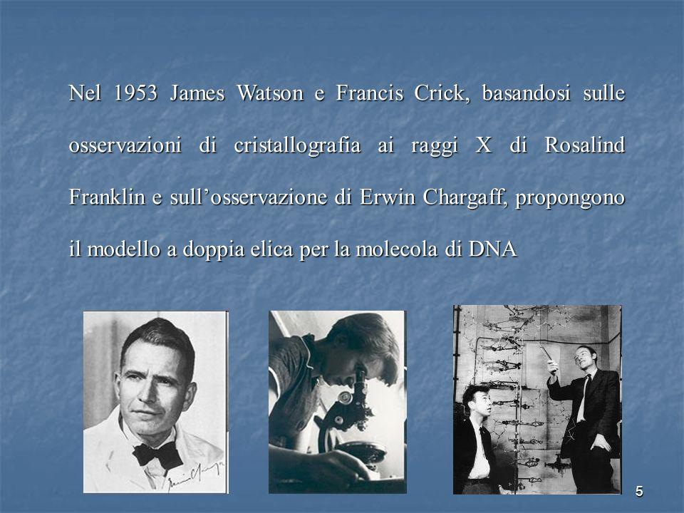 5 Nel 1953 James Watson e Francis Crick, basandosi sulle osservazioni di cristallografia ai raggi X di Rosalind Franklin e sullosservazione di Erwin C