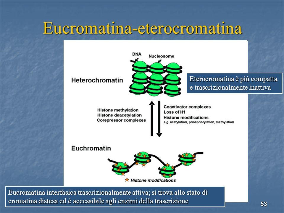 53 Eucromatina-eterocromatina Eterocromatina è più compatta e trascrizionalmente inattiva Eucromatina interfasica trascrizionalmente attiva; si trova