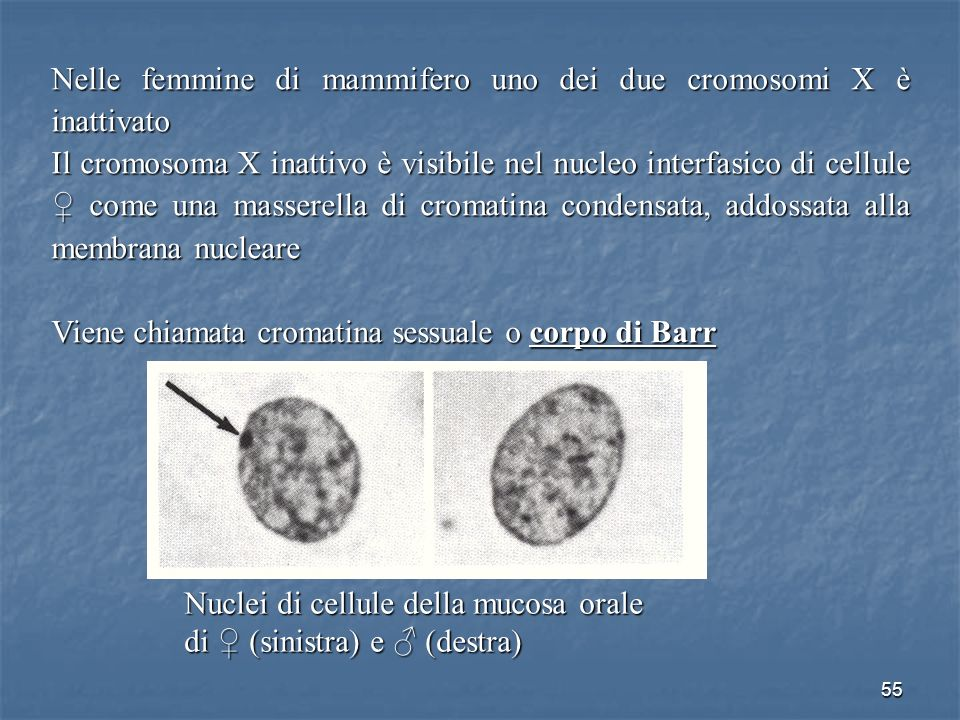 55 Nelle femmine di mammifero uno dei due cromosomi X è inattivato Il cromosoma X inattivo è visibile nel nucleo interfasico di cellule come una masse
