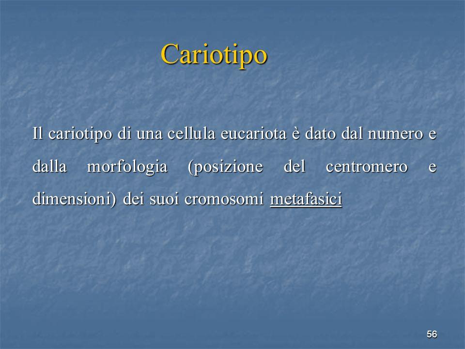 56 Cariotipo Il cariotipo di una cellula eucariota è dato dal numero e dalla morfologia (posizione del centromero e dimensioni) dei suoi cromosomi met