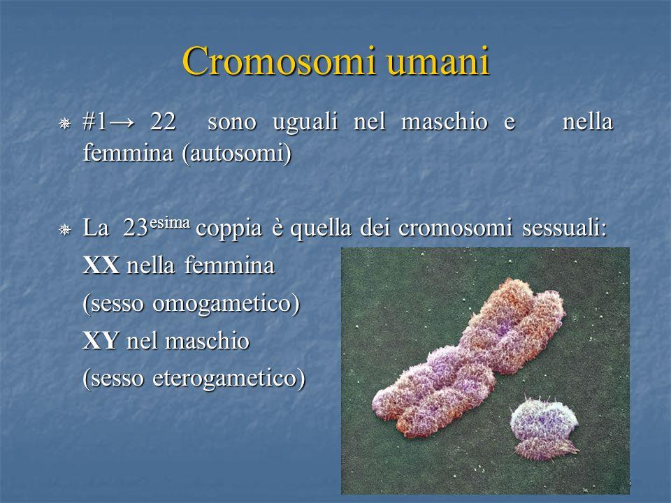 58 Cromosomi umani #1 22 sono uguali nel maschio e nella femmina (autosomi) #1 22 sono uguali nel maschio e nella femmina (autosomi) La 23 esima coppi