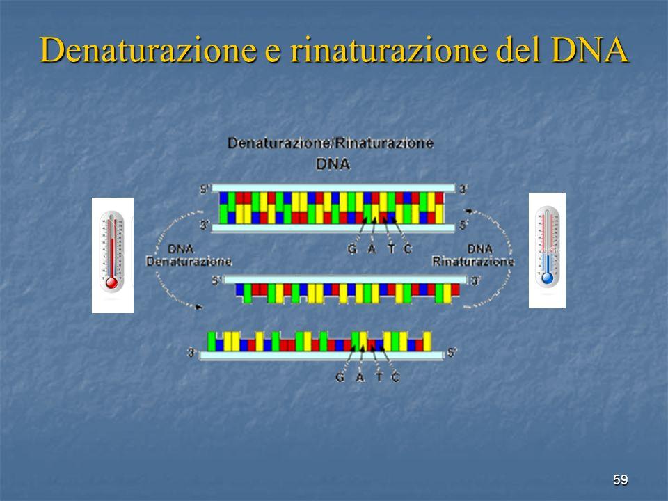 59 Denaturazione e rinaturazione del DNA