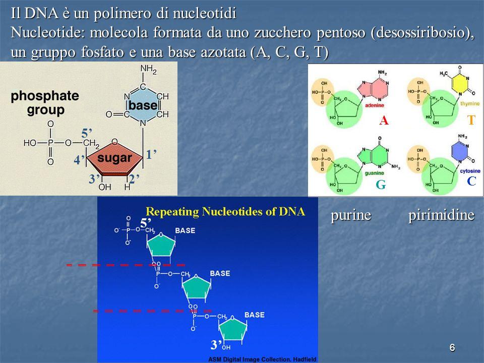 6 Il DNA è un polimero di nucleotidi Nucleotide: molecola formata da uno zucchero pentoso (desossiribosio), un gruppo fosfato e una base azotata (A, C