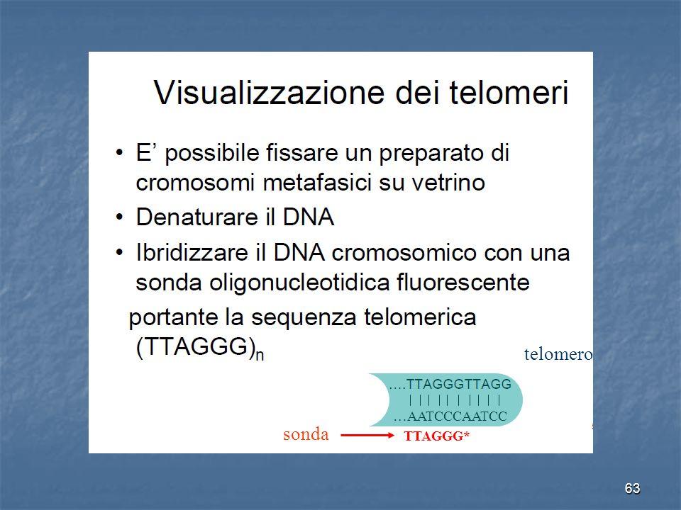 63 …AATCCCAATCC TTAGGG* sonda telomero
