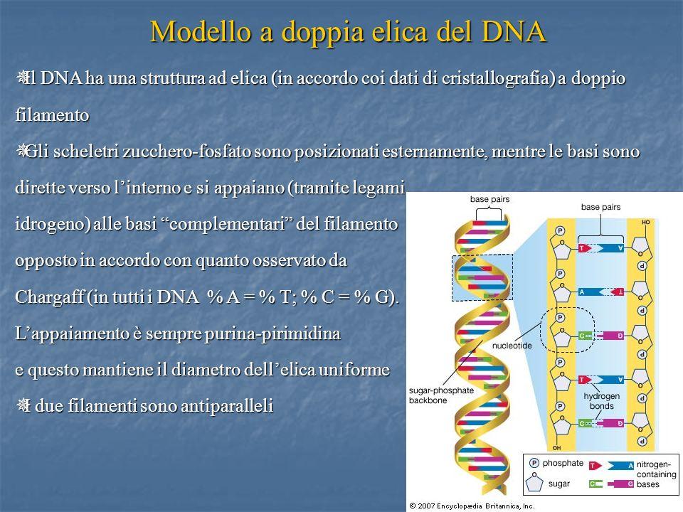 7 Il DNA ha una struttura ad elica (in accordo coi dati di cristallografia) a doppio filamento Il DNA ha una struttura ad elica (in accordo coi dati d