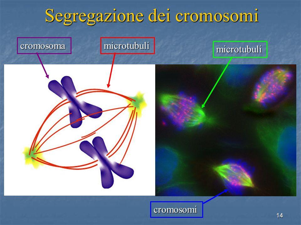 14 Segregazione dei cromosomi cromosomamicrotubuli cromosomi microtubuli